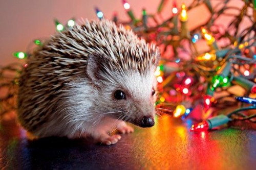 Christmashedgehogs1.jpg