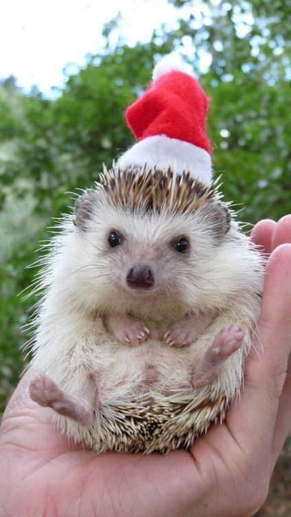 Christmashedgehogs2.jpg