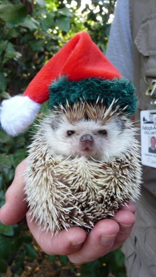 Christmas hedgehogs 3