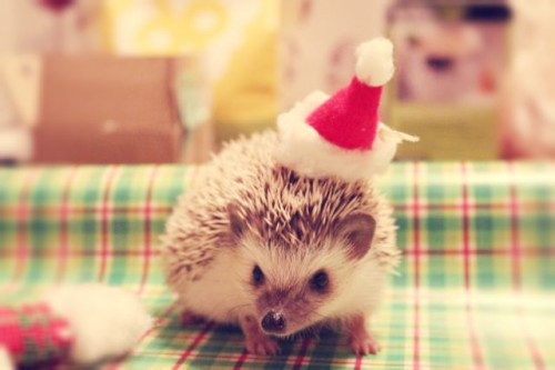 Christmas hedgehogs 4