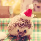 Christmashedgehogs4