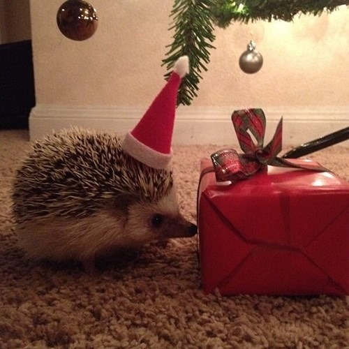 Christmas hedgehogs 5