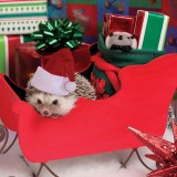 Christmashedgehogs6