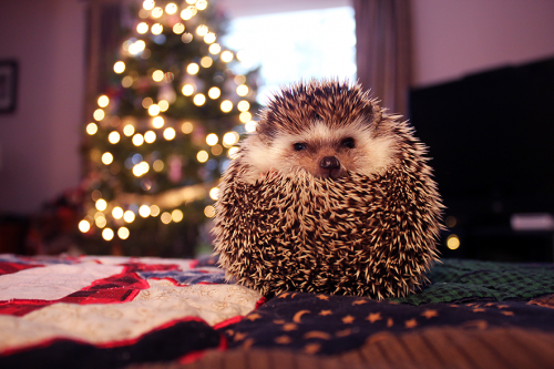 Christmashedgehogs7.png