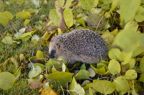 hedgehog-1021079_1920.jpg