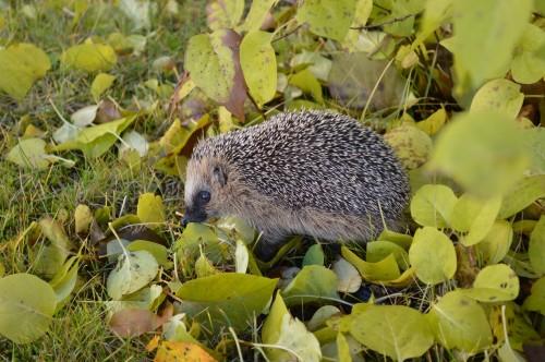 Hedgehog 1021079 1920