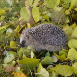 hedgehog-1021079_1920