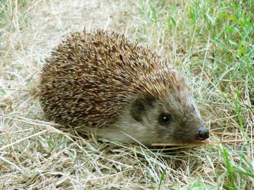 hedgehog-1096062_1280.jpg