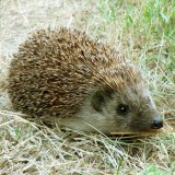 hedgehog-1096062_1280
