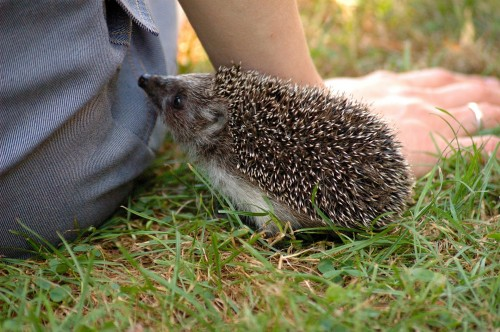 hedgehog-253666_1920.jpg