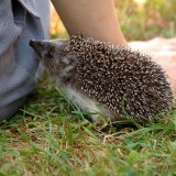 hedgehog-253666_1920