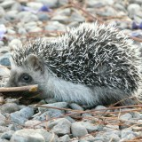 hedgehog-300390_1920