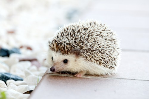 Hedgehog 468228 1920