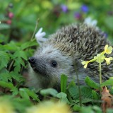 hedgehog-548335_1920