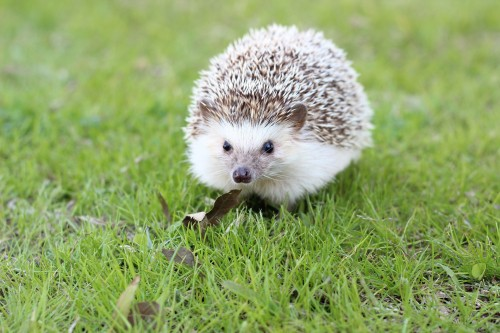 Hedgehog 663638 1920