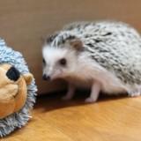 hedgehog-732535_1920