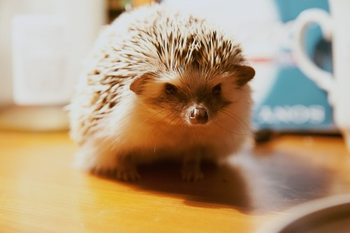 Hedgehog 884875 1920