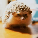 hedgehog-884875_1920