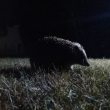 hedgehog-896301_1920