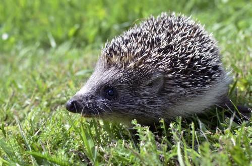 Hedgehog 989191 1920