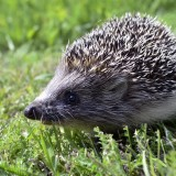 hedgehog-989191_1920
